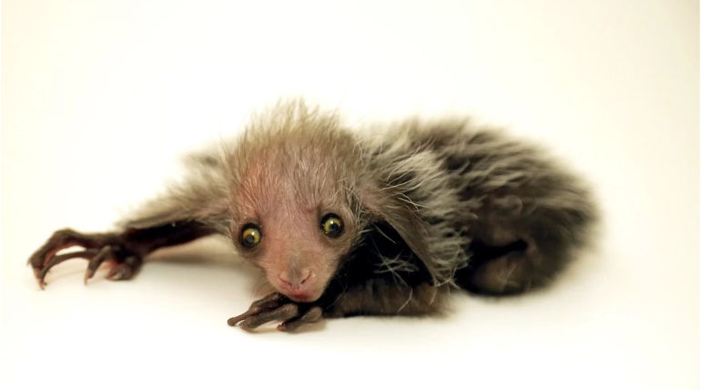 New Born Endangered Species Aye Aye Lemur looks Weirdly Cute , Image Credit - Denver Zoo